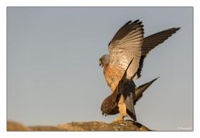 Accouplement de faucons crécerelles
