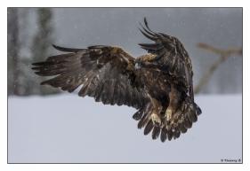Aigle royal en vol 2