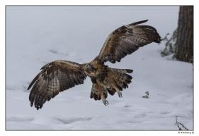 Aigle royal en vol 3