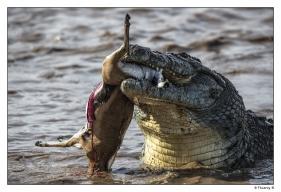 Crocodile du Nil et sa proie