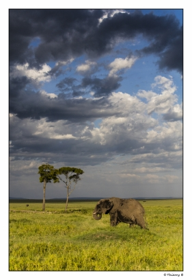 Elephant sous un ciel orageux
