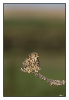Faucon-crécerelle-femelle