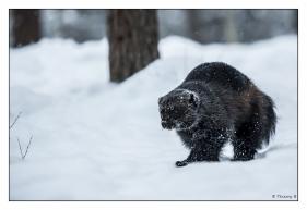 Glouton dans la neige 2