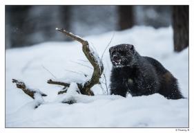 Glouton dans la neige 3