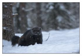 Glouton dans la neige 4