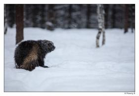 Glouton dans la neige