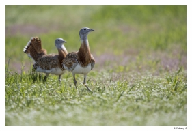 Grandes outardes ou outardes barbues