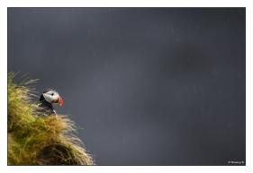 Macareux-sous-la-pluie