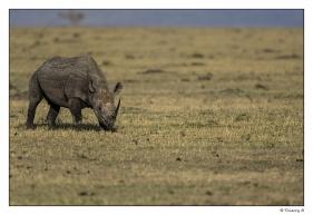 Rhinoceros gris copie