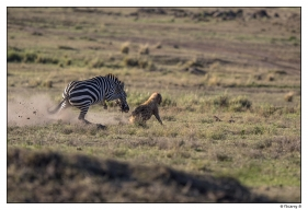 Zébre mâle chassant une hyène copie