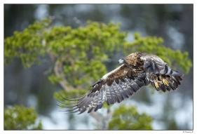 Aigle royal Norvège