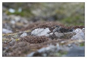 Bécasseau variable femelle au nid