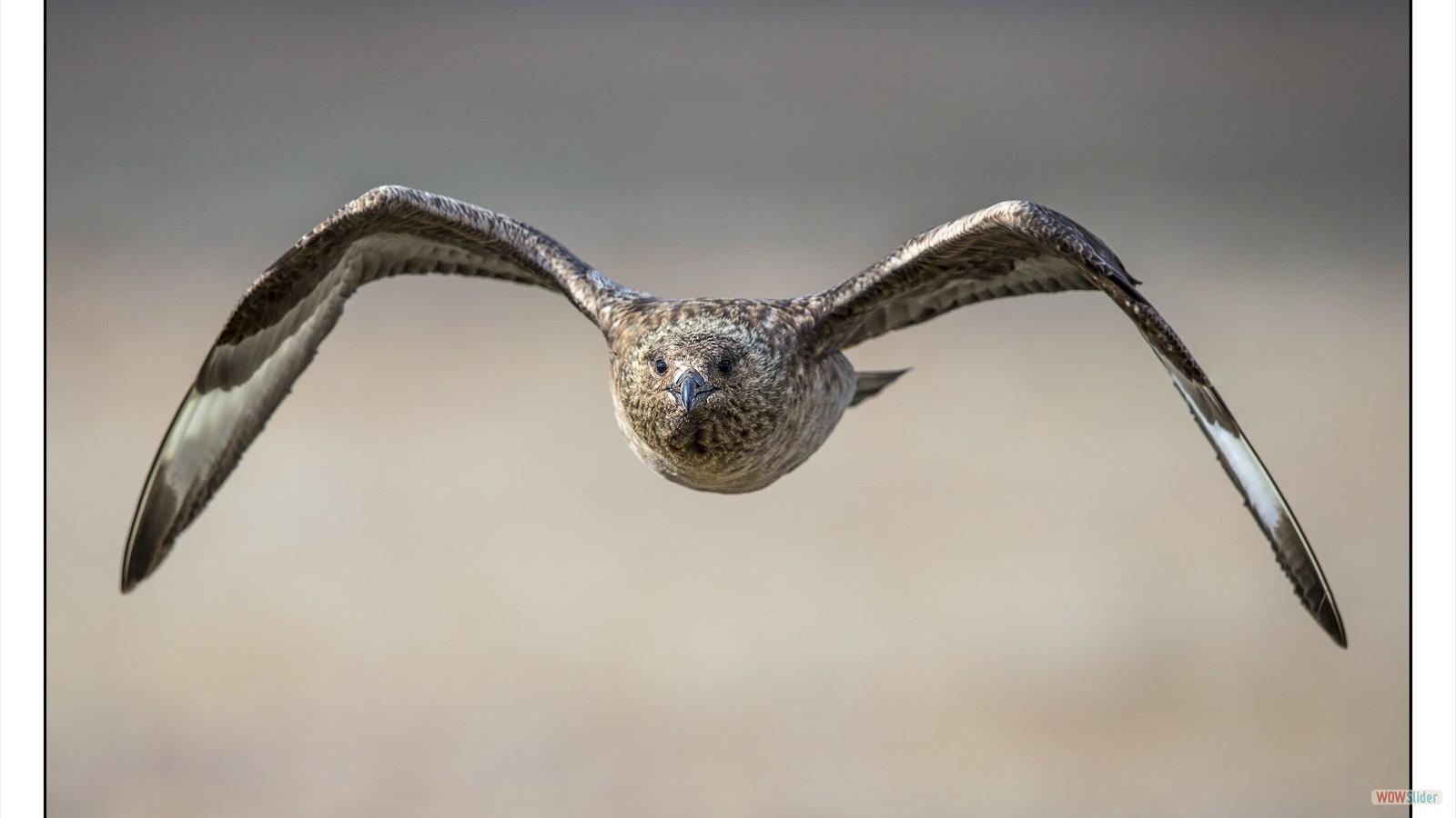 Grand labbe en vol